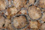 Petrified Wood Gold